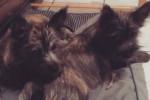Chien Malia & Mac - Cairn Terrier  (5 mois)