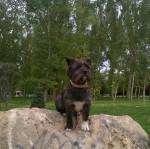 Chien Fox - Cairn Terrier Mâle (3 ans)