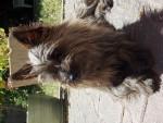 Malia - Cairn Terrier (1 an)