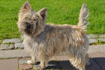 Photo Cairn Terrier