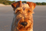 Photo Cairn Terrier