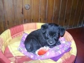 Wini de chiquita - Cairn Terrier (1 mois)