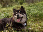 Kira - Chien courant finnois (2 ans)