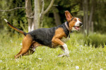 Photo Chien courant finnois