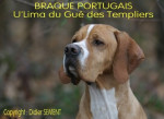 BRAQUE PORTUGAIS - U'Lima du Gué des Templiers - Chien d'arrêt portugais