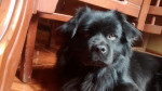 Chien Micky - Chow Chow Mâle (3 ans)