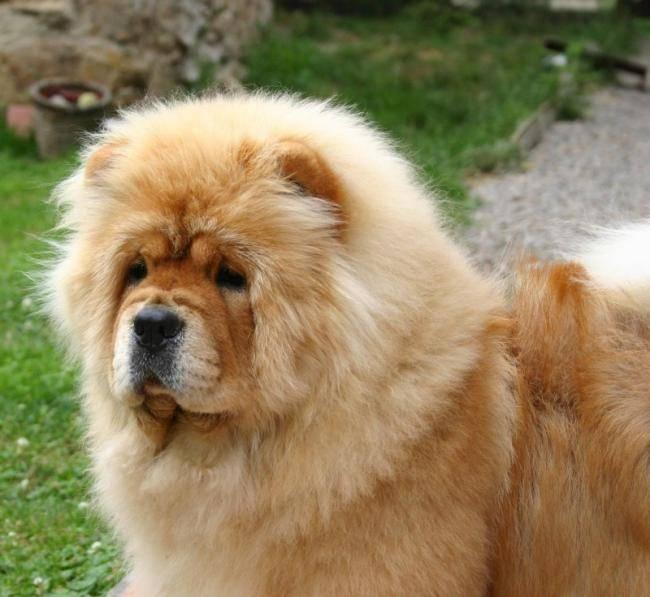 Okouny de los Perros de Bigo - Chow Chow
