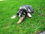 Bonnie - Dandie Dinmont Terrier (11 mois)