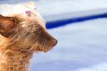 Photo Dandie Dinmont Terrier (16 ans)