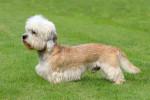 Photo Dandie Dinmont Terrier