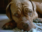 Mais la vie de chien est quand même dûre dûre à la maison - Dogue de Bordeaux