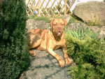 Vidocq - Dogue de Bordeaux