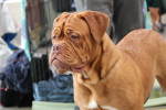 Photo Dogue de Bordeaux