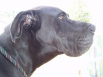 DOGUE ALLEMAND RAMBO - Dogue Allemand