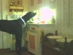 Bowie à 12 mois, dogue allemand noir. - Dogue Allemand (1 an)