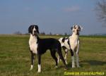Chien Femelles arlequine et noire : Félicia et Farah - Dogue Allemand  (Vient de naître)