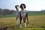 Chien Farah 2 ans et Femelle arlequine et noire - Dogue Allemand  (2 ans)