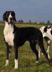 Chien Farah d\'Iskandar femelle noire dogue allemand - Dogue Allemand  (Vient de naître)