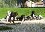 Chien Chiots Dogues Allemands - Dogue Allemand  (Vient de naître)
