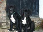 Chien Fangio et Filipo jeunes Dogues Allemands - Dogue Allemand  (Vient de naître)