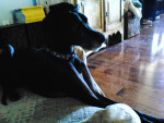 Milo - Dogue Allemand Mâle (4 ans)