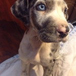 Chien Roqueto - Dogue Allemand Mâle (2 mois)