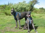 Dogue Bleu en Couple - Dogue Allemand