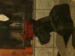 Ivy - Dogue Allemand (4 ans)