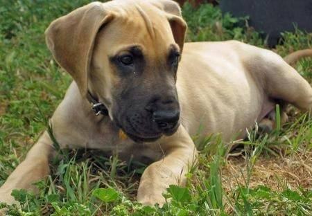 bella - Dogue Allemand (11 mois)