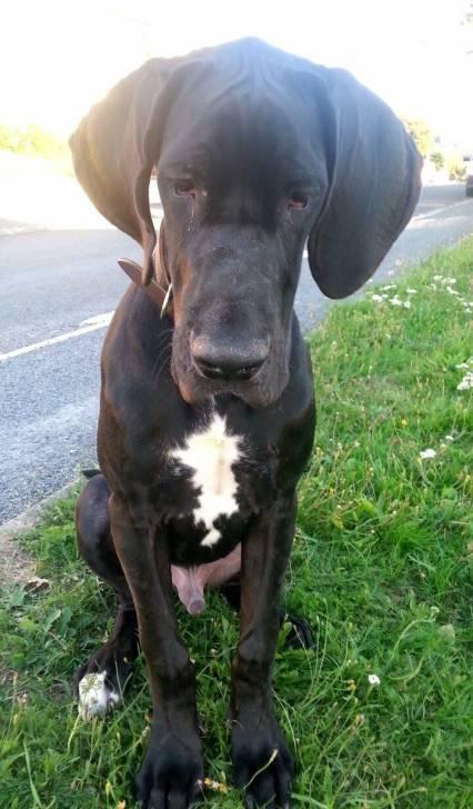 Balto - Dogue Allemand Mâle (6 mois)
