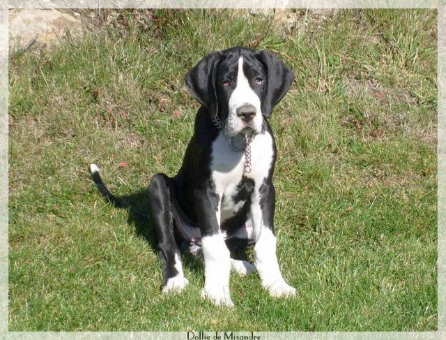 Opale - Dogue Allemand (3 mois)