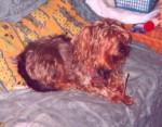 Photo Teckel (10 ans)