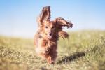 Un Teckel heureux court dans un champ
