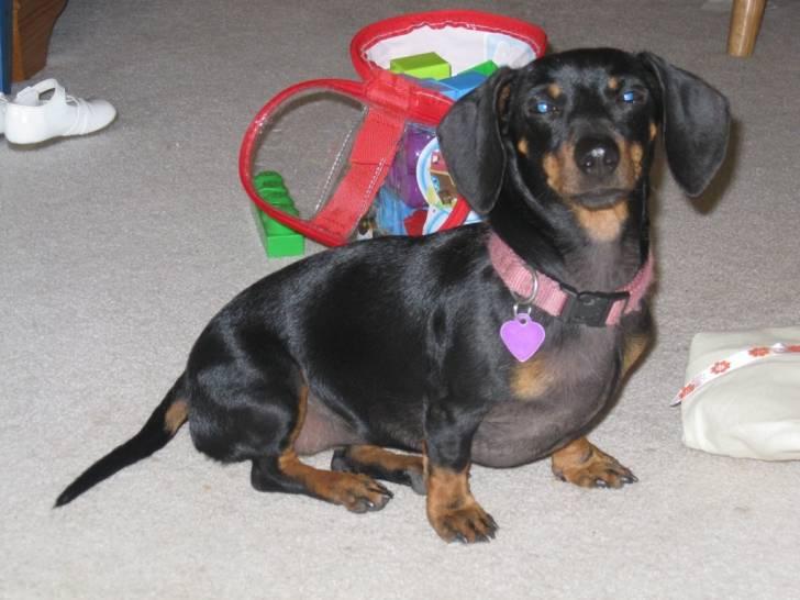 Lily - Teckel (3 ans)