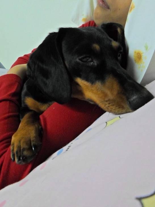 Lailin!! - Teckel (1 an)