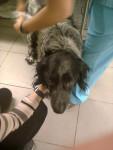 mon epagneul francais chez le vétérinaire - Epagneul français Mâle (11 ans)