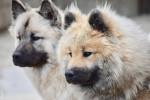 Photo Eurasier