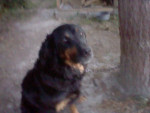 lady - Hovawart (9 ans)