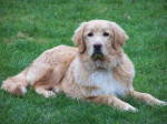 Chien Hovawart de 7 mois - Hovawart (7 mois)