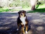 Birdie - Berger Australien (3 ans)