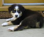 Daisy (chiots) - Berger Australien (11 mois)