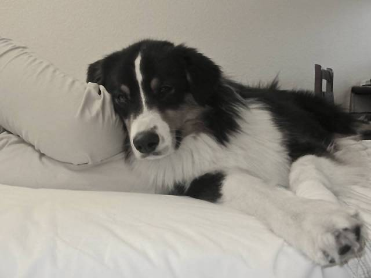 Yarra - Berger Australien (2 ans)