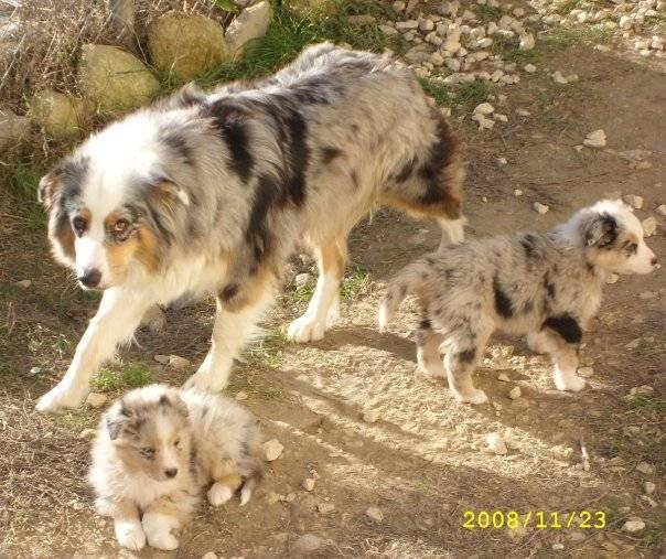 Cerise, Dinka et Delly, berger australien - Berger Australien