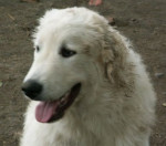 Blues - Kuvasz