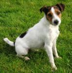 chien - Kuvasz (1 an)