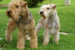 Lakeland terrier Absolute dolce vita - Lakeland Terrier