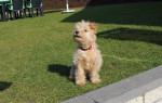 Lakeland Terrier KENZO - Lakeland Terrier