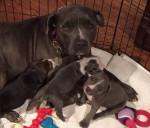 Newborn babies - Lakeland Terrier (1 mois)