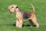 Photo Lakeland Terrier