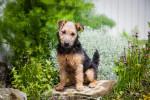 Photo Lakeland Terrier